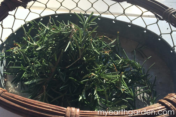 Rooting Rosemary Cuttings