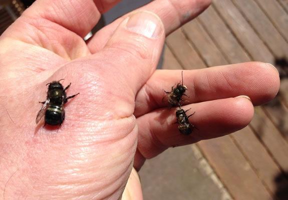 mason bees on hand