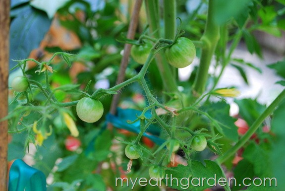 My Earth Garden: Super Sweet 100 Tomatoes