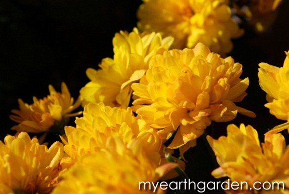 My Earth Garden: Mums