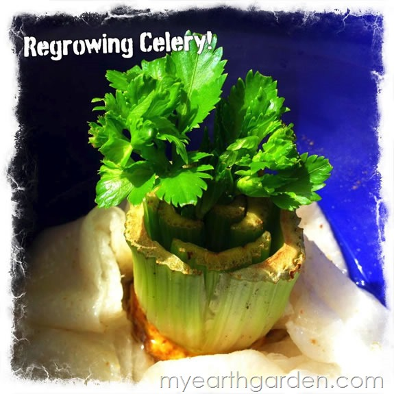 My Earth Garden: Regrowing Celery DAY 18