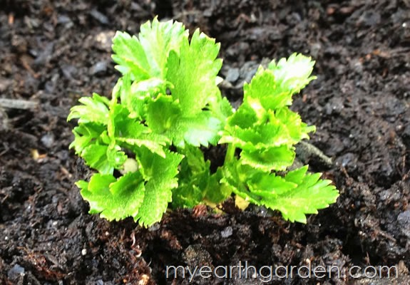My Earth Garden: Regrowing Celery DAY 31